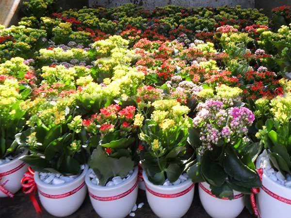 Cây hoa sống đời rất phù hợp với người tuổi Mậu Dần