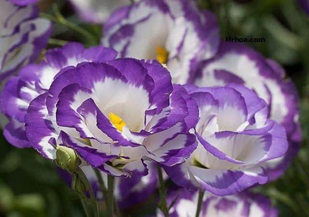 Hoa Cát Tường - Loài hoa may mắn