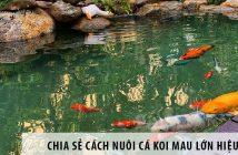 Chia sẻ cách nuôi cá Koi mau lớn hiệu quả