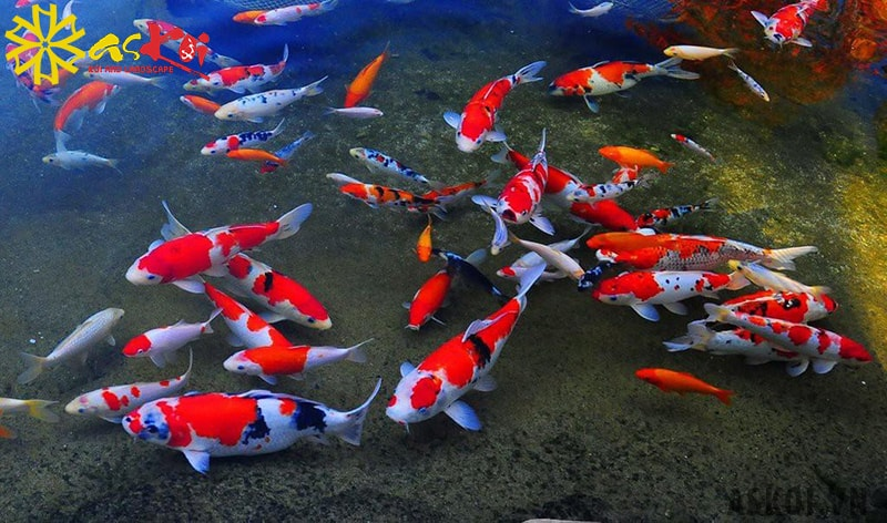 Cá koi đa dạng về màu sắc và kiểu dáng