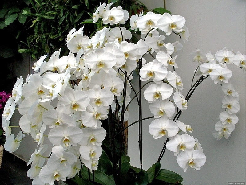 Hoa phong lan trắng hợp tuổi Tân Hợi (1971) ngũ hành thuộc Kim